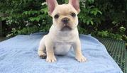 MALE FRENCH BULLDOG  NOW READY FOR SALE
