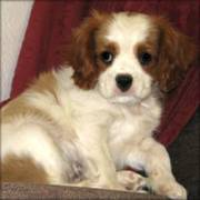 King Charles Spaneil Puppies For Sale