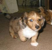 Dachshund Puppies For Available Now