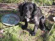 Lovely cocker spaniel girl for sale